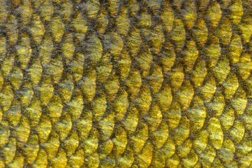Real Tench Fish Scales Close-Up as Background Texture