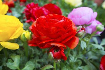 Bright spring time flower Raninculus (R. asiaticus).