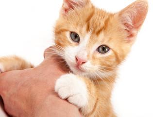 Little red kitten, lying on a hand