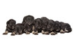 nine black puppies of Miniature Schnauzer