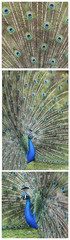 Indian Peafowl, pavo cristatus