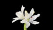Blooming white lily on the black background (Lilium Annemaries D