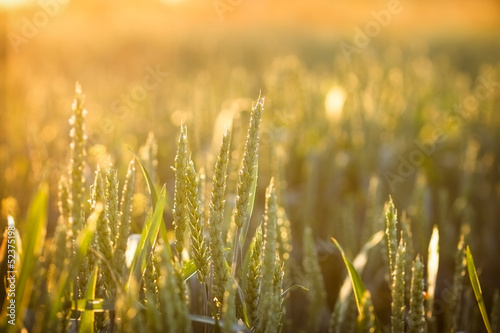 Rays of the setting sun on the young wheat