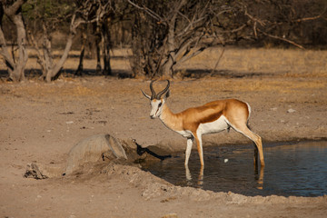 impala at  waterhole