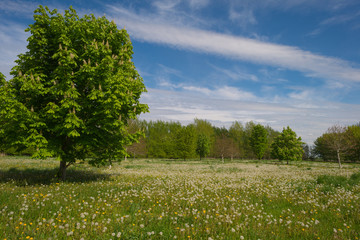 Field with overblown flowers in spring