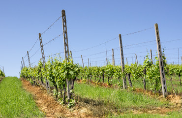 Vineyard under a blue Sky