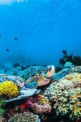Green Sea turtle on colorful coral reef and blue background