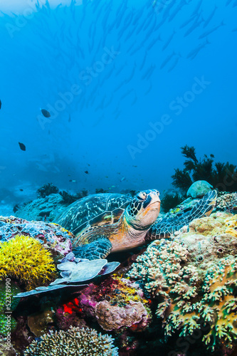 Foto op Plexiglas Schildpad Green Sea turtle on colorful coral reef and blue background