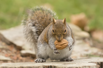 Isolated grey squirrel holding a nut