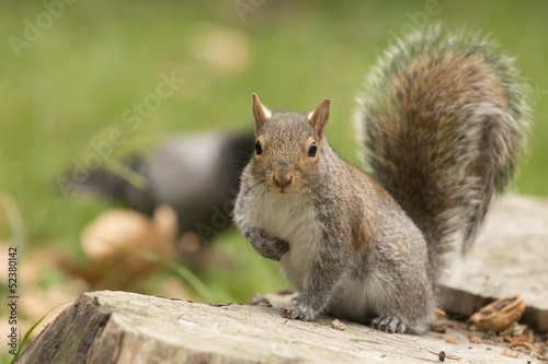 Foto op Canvas Eekhoorn Isolated grey squirrel looking at you