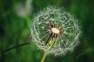 Dandelion seed outdoors