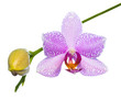 Blooming lilac  orchid isolated on the white,  background
