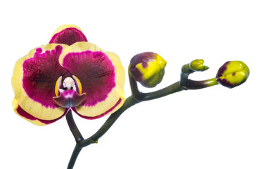 Blooming purple with yellow orchid isolated, background