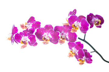 spotty orchid isolated on the white,  background