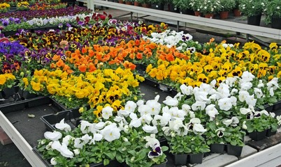 potted flowers with petals multicolor for sale in a greenhouse o