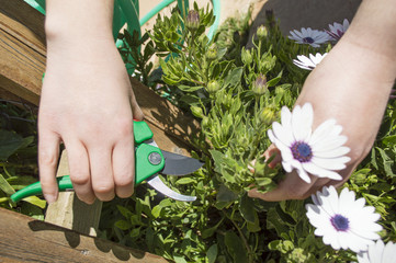 pruning a flower with a focus on scissors