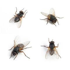 fliege schmeißfliege insekt set sammlung