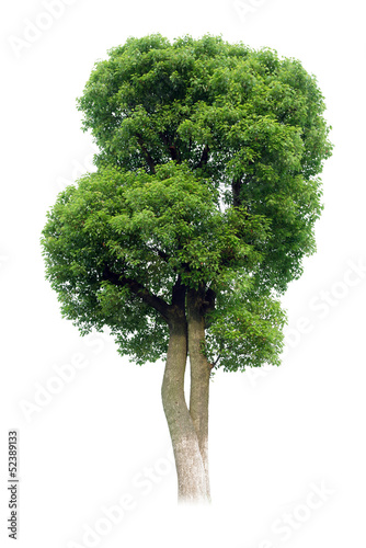 Small tree(Camphor)