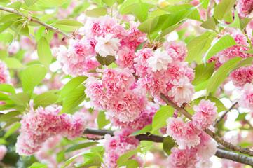 sakura, cherry blossom in spring