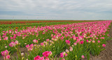 Field of tulips in spring