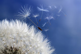Dandelion clock dispersing seed - 52391745