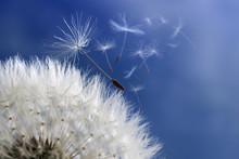 horloge de pissenlit disperser les graines