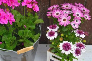 Frühling Garten Geranien