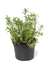 Pot with Winter savory