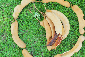 Tamarind - laying on the grass.