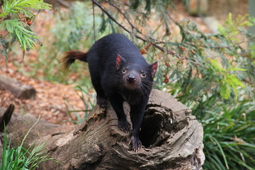 Tasmanian devil close up full frame, australia