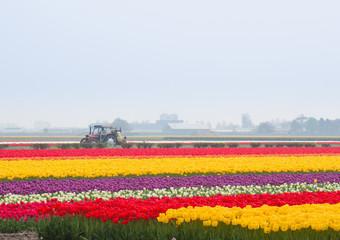 Dutch harvesting  tulip fields