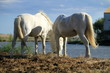 White horses eating, Camargue, France