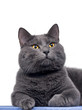 British shorthair cute cat sitting on wooden plank