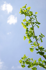 The branch of gingko biloba tree