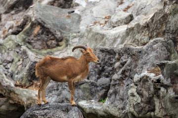 Barbary sheep ( Ammotragus lervia )  native to rocky mountains i