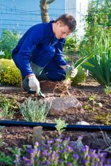 Farmer planting an iris flower in soil