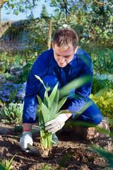 Farmer planting an iris flower
