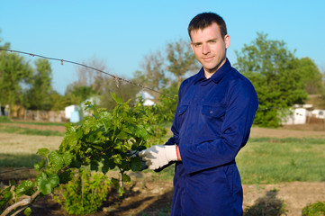 Male farmer tying grape branches