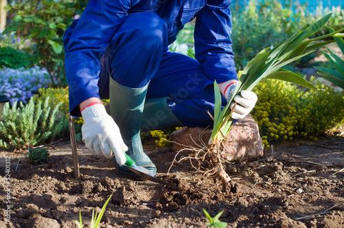 Papiers peints Iris Farmer's hands planting an iris using shovel