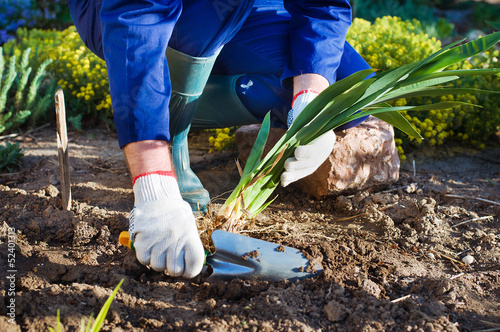 Farmer's hands planting an iris