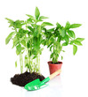 Pepper seedlings with garden tools isolated on white