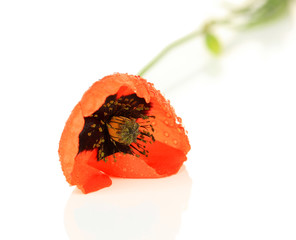 Poppy flower isolated on white