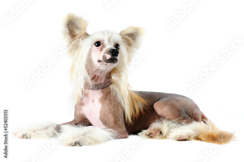Poster Chinese crested dog portrait isolated on white