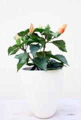 hibiscus orange dans cache pot blanc