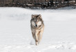 Grey Wolf (Canis lupus) Runs Directly at Viewer