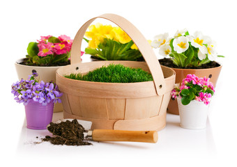 spring flower in pot with green grass basket isolated on white