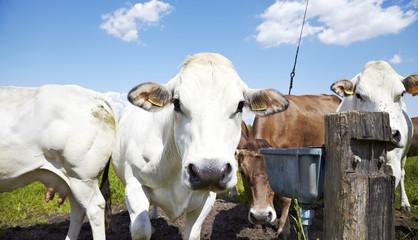 Cows color image