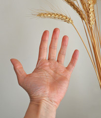 hand outstretched towards ear of corn