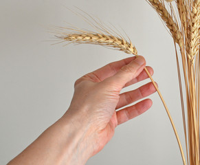 closeup of  hand that gather ear of corn