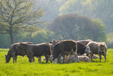 Healthy cattle livestock, Idyllic Rural, UK poster